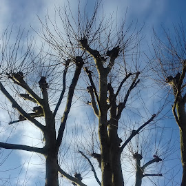 Bare Trees by Gay Reilly - Novices Only Landscapes ( clouds, winter, blue sky, leafless, trees )