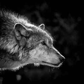 Wolf by Garry Chisholm - Black & White Animals ( garry chisholm, canid, nature, black and white, wolf, wildlife,  )