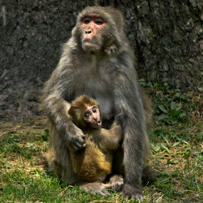 Proud mother by Divnoor Buttar - Animals Other Mammals ( pwc monkey, pwc still life, monkey )