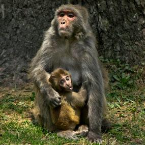 Proud mother by Divnoor Buttar - Animals Other Mammals ( pwc monkey, pwc still life, monkey )