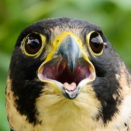 Peregrine Up Close by Judy Rosanno - Animals Birds ( bird, bird of prey, falcon, mitchell lake, peregrine falcon, animal,  )