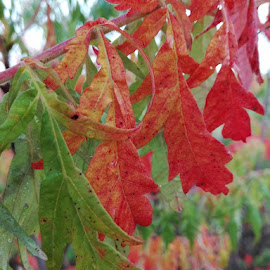 Rhus typhina by Alina Vicu - Novices Only Flowers & Plants ( red, autumn, rhustyphina, leaves, gree )
