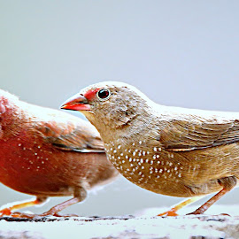 Fire-finch Pair by Pieter J de Villiers - Animals Birds ( animals, kruger national park, fire-finch, pair, south africa, birds, ngwenya lodge, seed-eaters )
