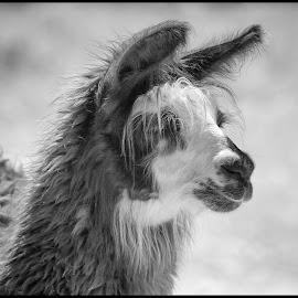 Alpaca by Dave Lipchen - Black & White Animals ( alpaca )