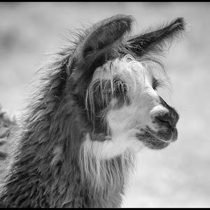 Alpaca-2.jpg