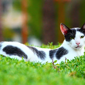 Kitten  by Syam Alendu Nair - Animals - Cats Portraits