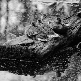 Mallard  by Todd Reynolds - Black & White Animals