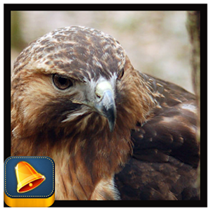 Hawk Sound for Android