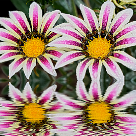 twoo gazanias by LADOCKi Elvira - Digital Art Things ( nature, flowers, garden )