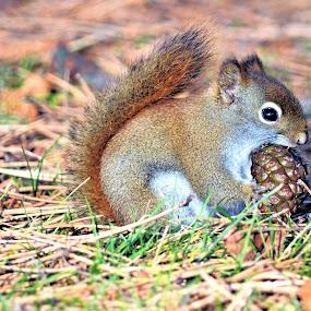 Squirrel by Jaliya Rasaputra - Animals Other Mammals (  )