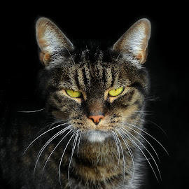 With a stern look by Laroy Rony - Animals - Cats Portraits