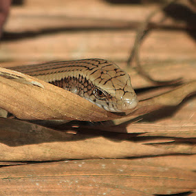 অঞ্জনা/Keeled Grass Skink,Keeled Indian Mabuya by Saeed Shoummo - Novices Only Wildlife ( অঞ্জনা, keeled grass skink, keeled indian mabuya, shoummo )