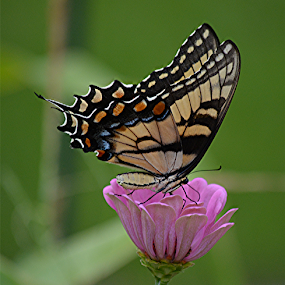 Eastern Tiger Swallowtail by Raymond Earl Eckert - Animals Insects & Spiders ( swallowtail; butterfly; colo; colorful; pattern,  )