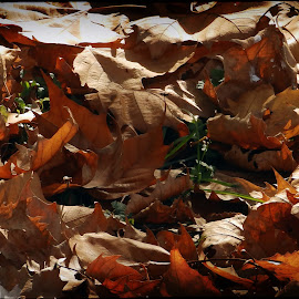 Autumn foliage by Damir Kutleša - Abstract Macro ( tree, autumn, foliage, parks, brown )