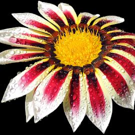 beautiful gazania by LADOCKi Elvira - Flowers Flower Gardens ( flowers )