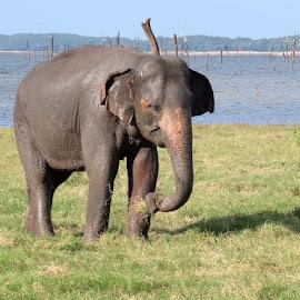 elephant eating by Donna Racheal - Animals Other Mammals ( safari, sri lanka, animals, elephant, wildlife )