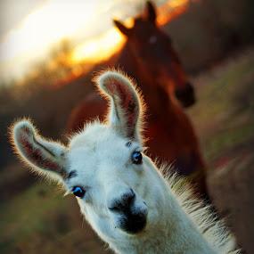Pogo Llama! by Teresa Delcambre - Animals Other Mammals ( sun down, furry, sunset, horse, cute, llama, dusk, white fur )