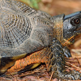 Wood Turtle by Tarea J Roach-Pritchett - Animals Reptiles ( wood turtle, glyptemys, forest, reptile, turtle )