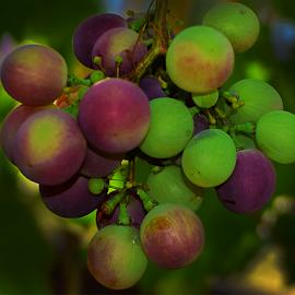 grape in my garden by LADOCKi Elvira - Food & Drink Fruits & Vegetables