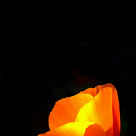 ...her light... by Angeline JoVan - Novices Only Flowers & Plants ( orange, california, poppy, yellow, light )