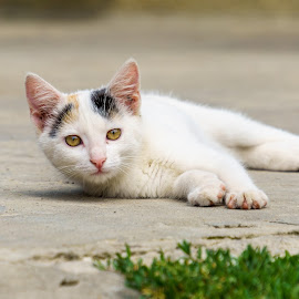 Lazy  by Hurghis Vasile - Animals - Cats Kittens ( looking, cat, pet, colors, little, pretty, light, animal, eyes )
