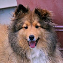 Her big Smile by Sue Delia - Animals - Dogs Portraits ( shetland sheepdog, smile, dog )