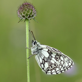 Marbled White Marsh by Ld Turizem - Animals Insects & Spiders