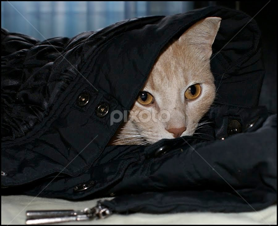 leave me a jacket, it's cold ... by Branka Radmanić - Animals - Cats Portraits
