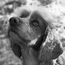 Bonny Oscar by Chrissie Barrow - Black & White Animals ( monochrome, black and white, cocker spaniel, pet, greys, dog, mono, portrait, animal )