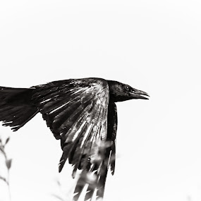 Messenger by Andrei Ciuta - Animals Birds ( bird, flying, flight, monochrome, black and white, crow, animal )