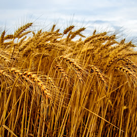 Beautiful golden wheat by Darko Zivlakovic - Nature Up Close Gardens & Produce ( plant, countryside, straw, land, farmland, yellow, landscape, crop, farm, sky, nature, bread, gold, wheat, seed, agriculture, cereal, rural, country, field, season, background, grow, grain, cloud, scene, summer, harvest, natural, golden, growth,  )