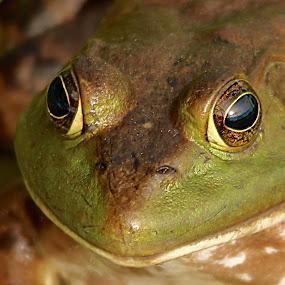 Bullfrog head by Michel Lapensée - Animals Amphibians
