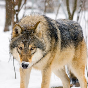 Wolf Guard by Lajos E - Animals Other Mammals ( canis, europe, wood, carnivores, forest, gray, woods, snowing, carnivore, canid, winter, european, tree, wolf, lupus, snow, grey, canidae,  )
