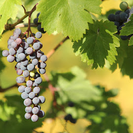 Fresh Off The Vine by Lena Arkell - Food & Drink Fruits & Vegetables ( purple, grapes, sunny, vine, green,  )