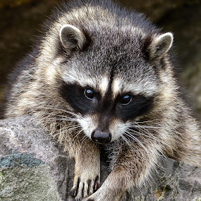 Young Racoon by Jerry Cahill - Animals Other Mammals ( mammals, animals, raccon, willdlife, racoons,  )