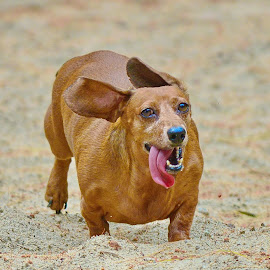 by Jeff Fox - Animals - Dogs Running