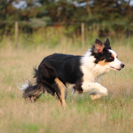 Naar de schaapjes rennen by Debby Emmerig - Animals - Dogs Running