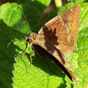 unknown skipper