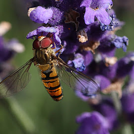 Hoverfly on Lavender by Chrissie Barrow - Animals Insects & Spiders ( orange, purple, park, thorax, green, abdomen, antennae, stripes, insect, lavender, bokeh, eyes, hoverfly, wings, head, black, flower, animal )