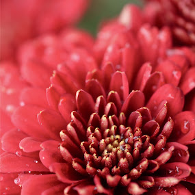 Red flower by Rozi Rahman - Nature Up Close Flowers - 2011-2013 ( red, flower )