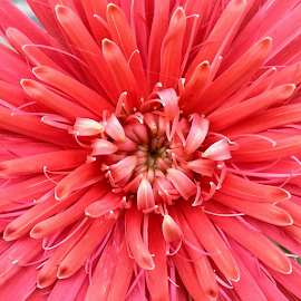 bloom by Jerome Mojica - Instagram & Mobile Android ( petals, daisy, bloom, pink, flower )