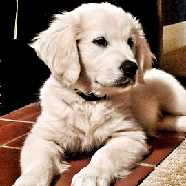 Our little Scout by Kim Price - Animals - Dogs Puppies ( english cream, puppy, fireplace, golden retriever )