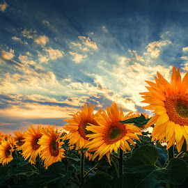 Glory by Zsolt Zsigmond - Flowers Flowers in the Wild ( clouds, sky, sunflowers, sunrays, summer )