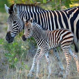 Mother and Child by Anthony Goldman - Animals Other Mammals ( wild, nature, mother, south africa, zebre, wildlife, londolozi, baby, mammal )