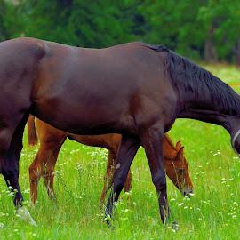 by Vladymyr Sergeev - Animals Horses
