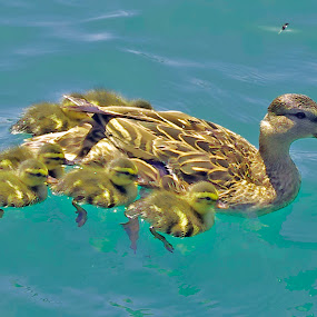 DuckFamily2 by Joanne Burke - Animals Birds