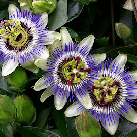 Threesome by Chrissie Barrow - Flowers Flower Gardens ( stigma, purple, stamens, petals, green, passiflora, white, three, brown, leaves, flowers, passion flower, garden )