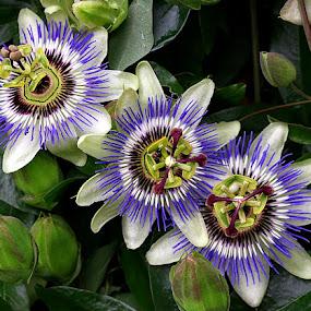 Threesome by Chrissie Barrow - Flowers Flower Gardens ( stigma, purple, stamens, petals, green, passiflora, white, three, brown, leaves, flowers, passion flower, garden,  )
