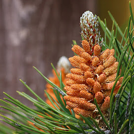 New Scot's Pine Cone by Chrissie Barrow - Nature Up Close Trees & Bushes ( orange, new, tree, green, bush, needles, cone, bokeh, scot's pine )