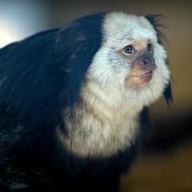 Marmoset by Karen Carter - Animals Other Mammals ( monkey, animal )